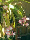 epiphyllum-deutsche-kaiserin-nopalxochia-phylanthoides-flower-buds