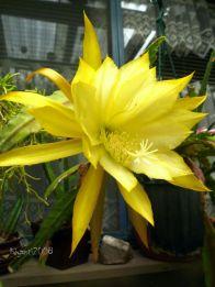 epiphyllum-noid-nov-2016