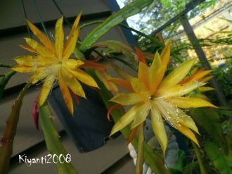 epiphyllum-small-yellow-noid-october-2016