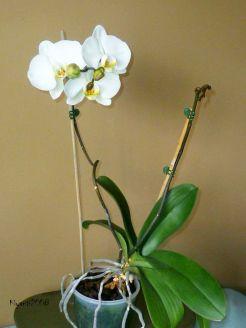 phalaenopsis-november-16-2016