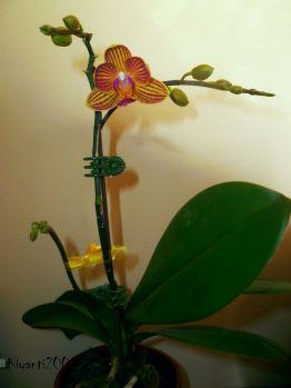 phalaenopsis-small-stripy-flowers