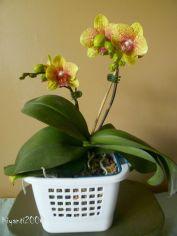 phalaenopsis-yellow-november-2016