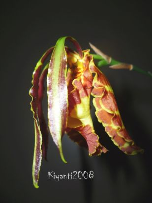psychopsis-papilio-flower-stage-7