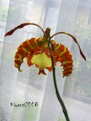 psychopsis-papilio-flower-stage-9-back-view
