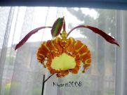 psychopsis-papilio-flower-stage-9