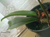 psychopsis-papilio-orchid