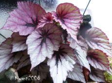 terrarium-begonia-rex-amazing-colours