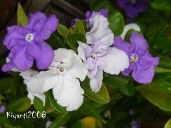 yesterday-today-tomorow-brunfelsia-australis-syn-bonodora