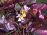 begonia-rex-flower-in-comparison-with-foliage