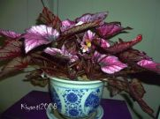 begonia-rex-in-bloom-december-2016
