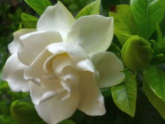 gardenia-sweet-scented-flowers