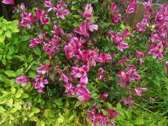 peruvian-lilies-alstroemeria