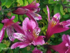 peruvian-lily-flowers-alstroemeria