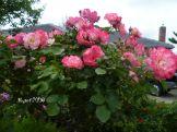 rose-standard-hannah-gordon-2016