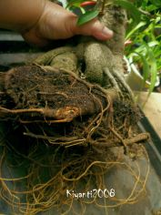 bonsai-ficus-microcarpa(retusa?)-long-roots