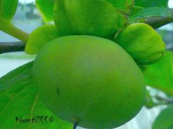 persimmon-2