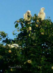 sulphur-crested-cockatoos