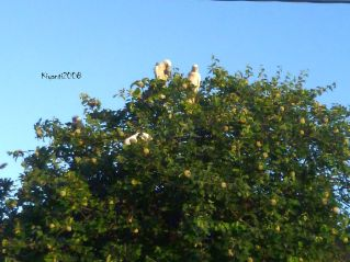 white-cockatoos-eating-quince-fruits