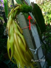 dragon-fruit-one-day-after-pollination-march-2-2017