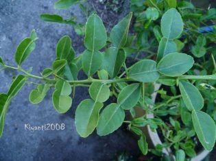 Kaffir Lime - Citrus hystrix
