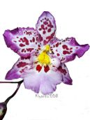 Orchid - Zelglossoda Orchid