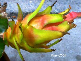 Dragon fruit ripening