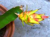 Dragon fruit - tiny and strange colour