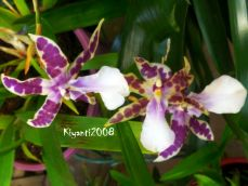 Miltonia white with purple spots April 2017