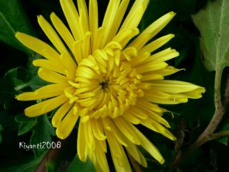 Chrysanthemum yellow 2017