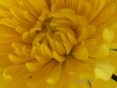 Chrysanthemum yellow closer view