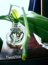Phalaenopsis Semi Water Culture 2 - July 18 2017