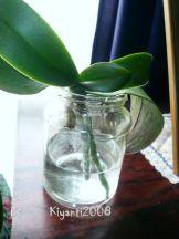 Phalaenopsis Semi Water Culture 3 - July 18-2017