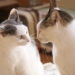 猫 戦う 衝突