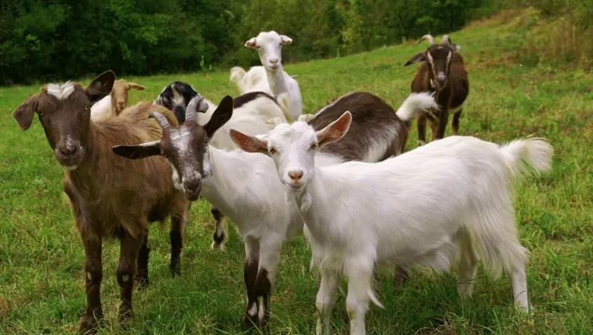 बकरी का व्यवसाय