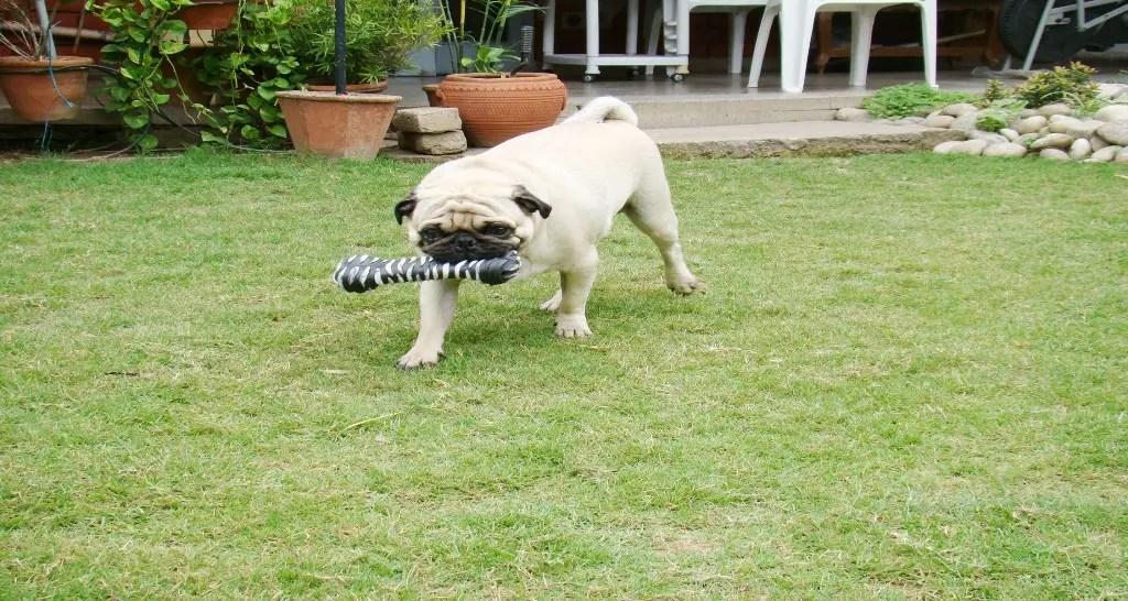 कुत्ता खेल रहा है