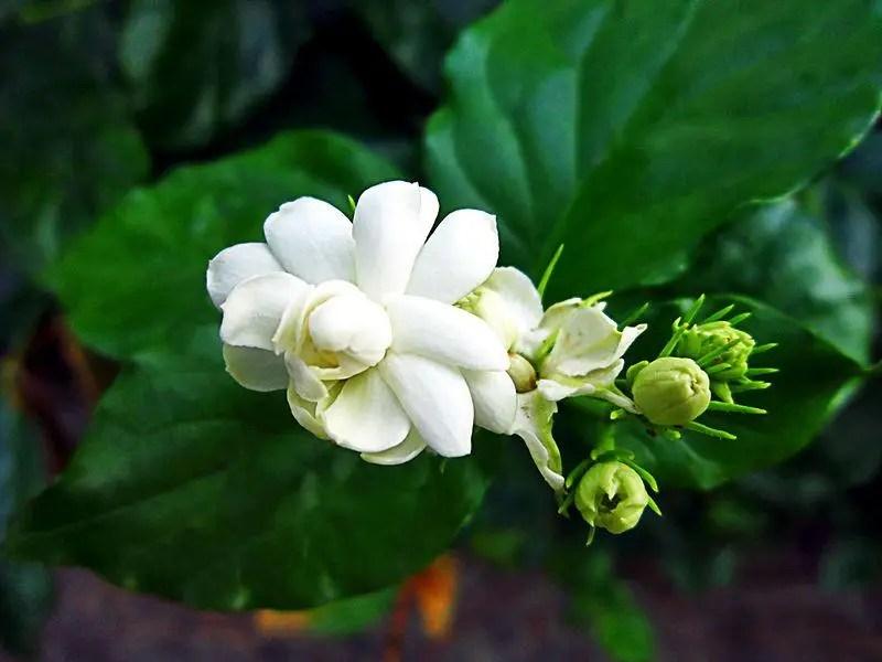 चमेली का फूल