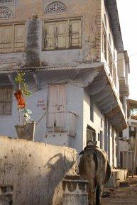 Eine Kuh morgens in Pushkar