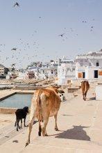 Fledermausland! Kuhe am Lake Pushkar