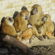 baboons2