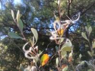 Birch leaf mountain mahogany (Cercocarpus betuloides)