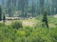 Cows in Cow Creek Glade on the SIskiyou Crest