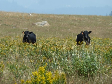 Cows in a wildflower meadow on the Siskiyou Crest. Sometimes the only native plants capable of growing in an over-grazed meadow are plants that are not palatable to livestock.