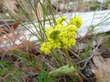 "Common lomatium (Lomatium urticulatum) is an early bloomer in the spring and is sometimes referred to as ""spring gold."""