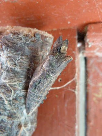 Anise swallowtail butterfly chrysalis found on the eve of my house while cleaning the gutters