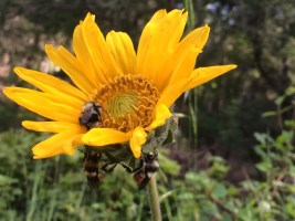 Bumblebees waking up in the morning on mules ears (Wyethia angustifolia)