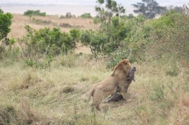 Lion with warthog prey.