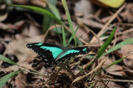 Green banded swallowtail butterfly.