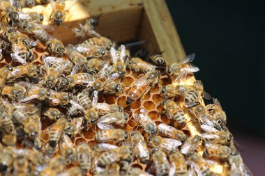 Bees and their queen