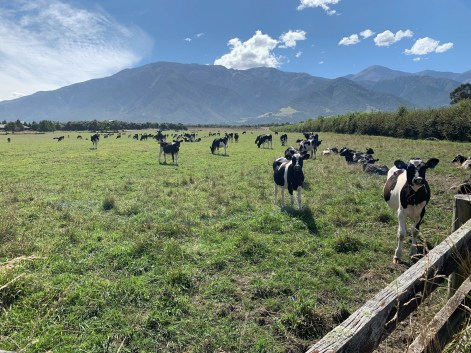 Livestock grazing on a green field, jagged mountain range in the distance