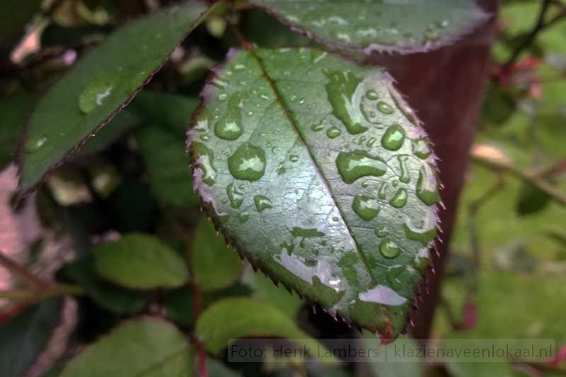 rozenblaadje, regendruppels